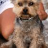 Nuchi Yorkie Pet Portrait