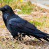 Raven-PMPhoto-1